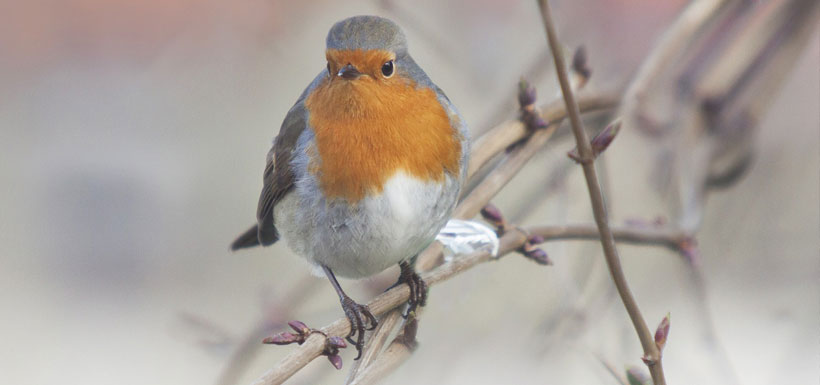 Winter Wildlife - Robin on branch