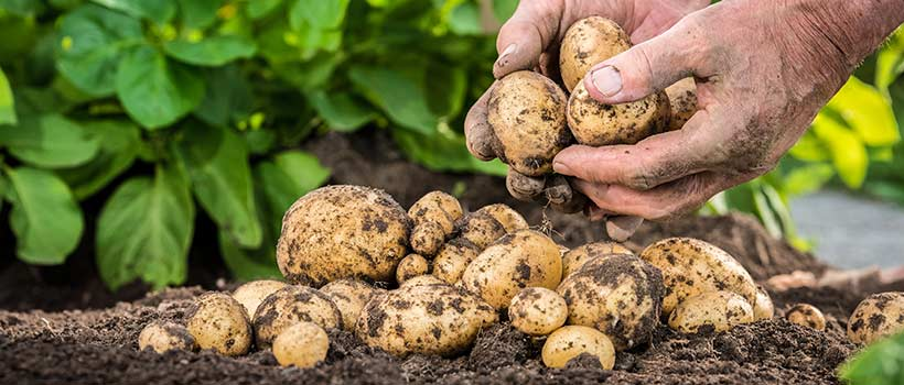 Grow your own potatoes