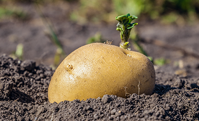 Grow your own potatoes Chit