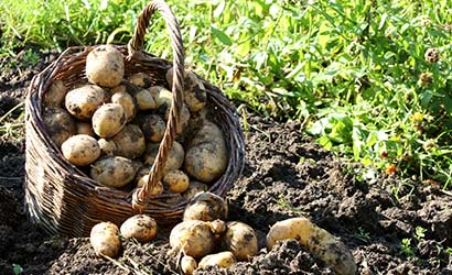 Grow your own potatoes ground