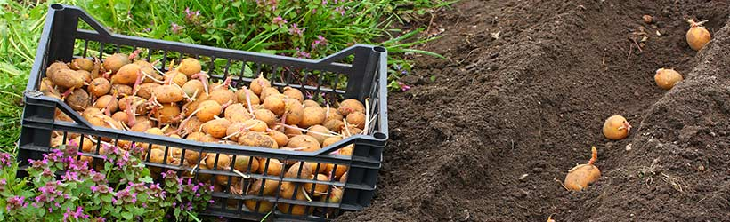 Grow your own potatoes in the ground